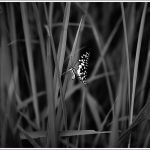 Monochrome of a Butterfly from Lalbagh