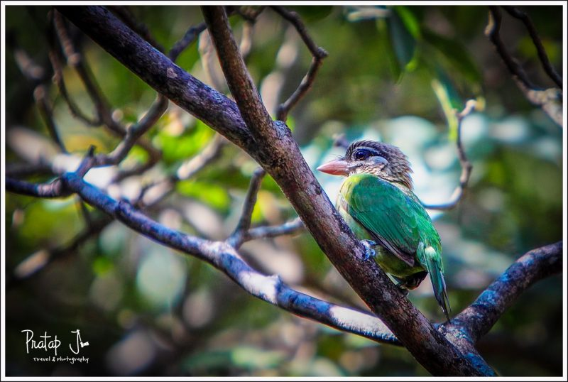 Barbet at Lalbagh