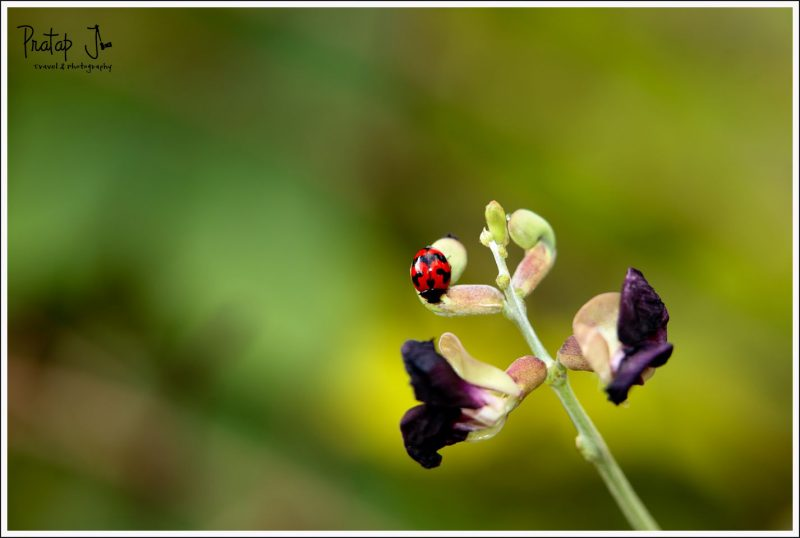 Ladybug in Lalbagh