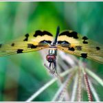 A Close up of a Dragonfly from Agara Lake