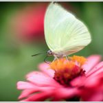 Emmigrant Butterfly Closeup