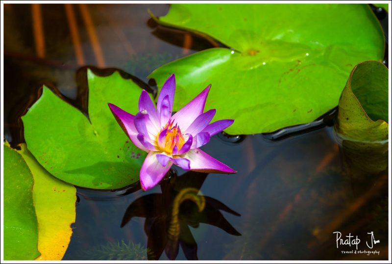 A water Lilly in Pondicherry