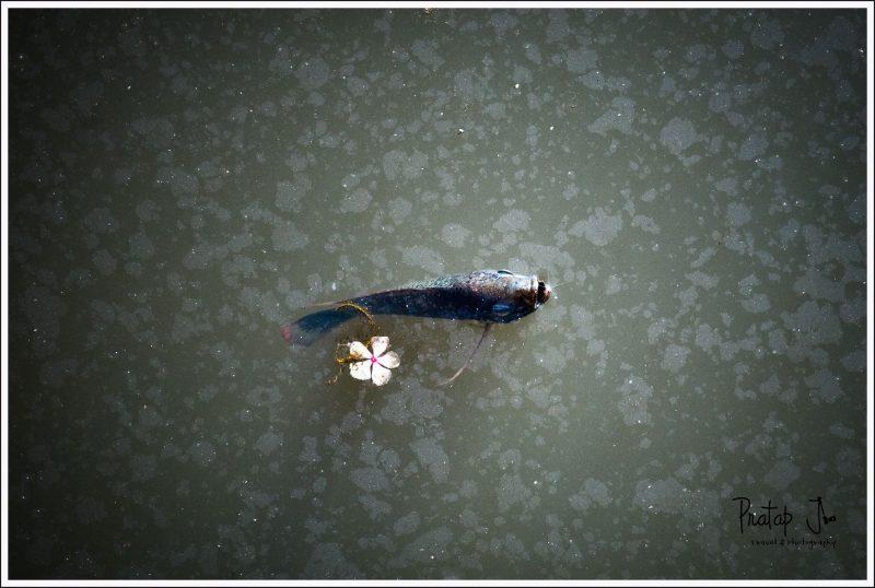 Fish at Lalbagh lake