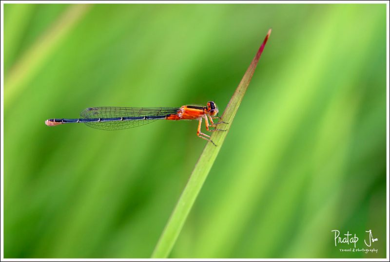 Damsel Fly Closeup
