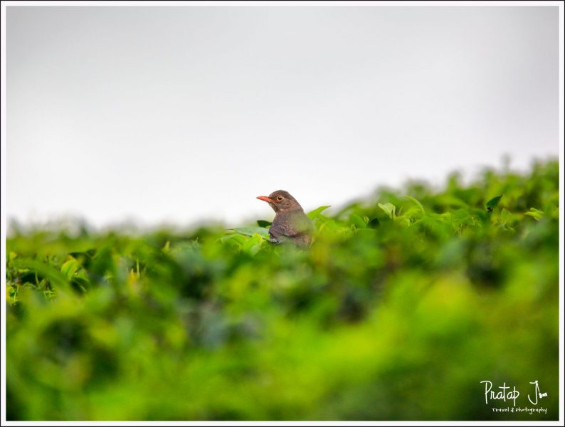A Eurasian Black Bird amongst Tea Bushes