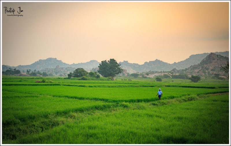 Paddy fields in the Tungabadra River Basin