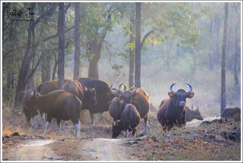 A herd of Indian Gaur