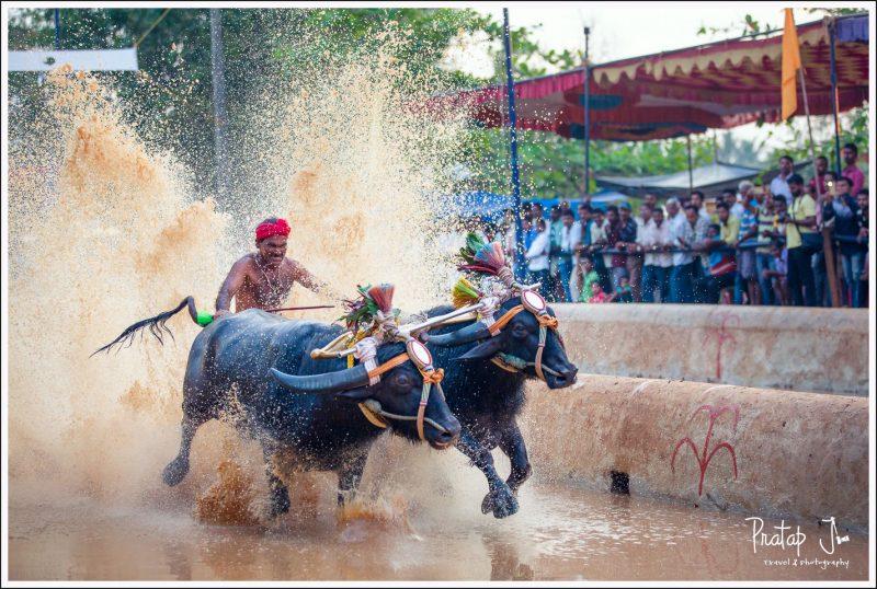 Man racing two buffaloes