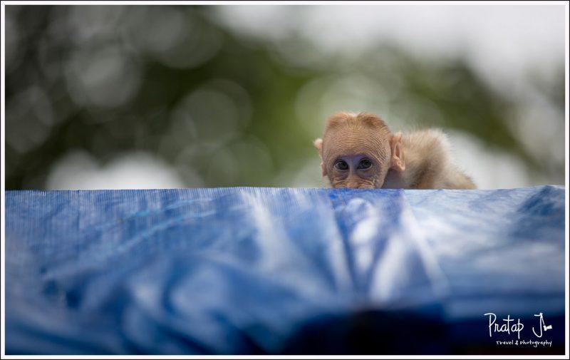 Shy baby monkey