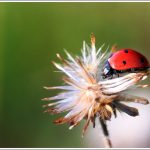 Lady Bug Macro from Lalbagh
