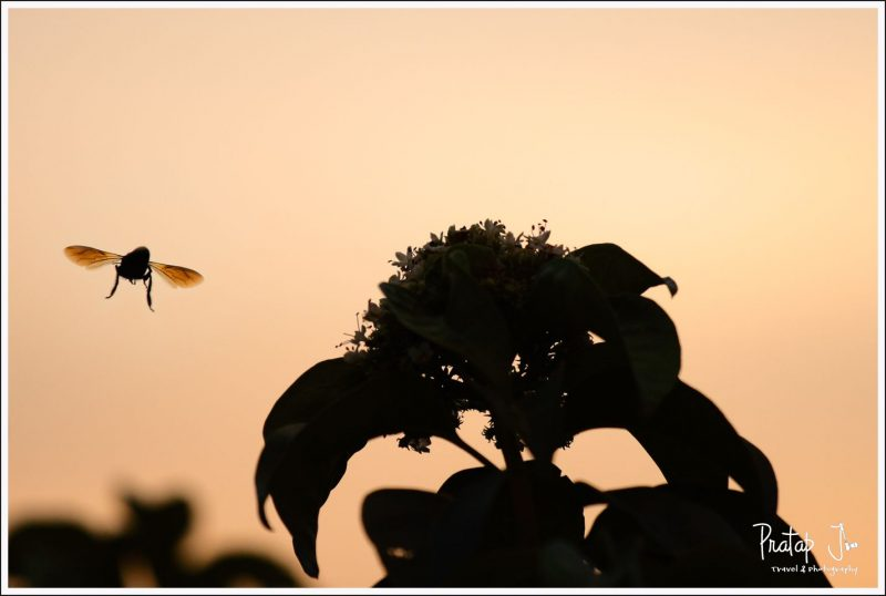 A Bee Returns Home at Sunset