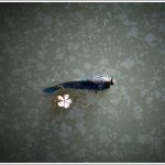Fish at Lalbagh lake