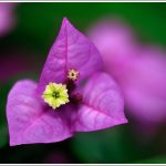 Close up of a Bougainvillea flower shot at Lalbagh