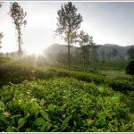 Sunrise through the tea estates at Wayanad