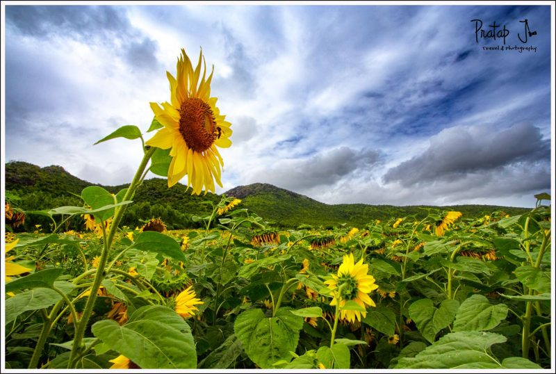 A Sunflower Reaches Out against Blue Skies