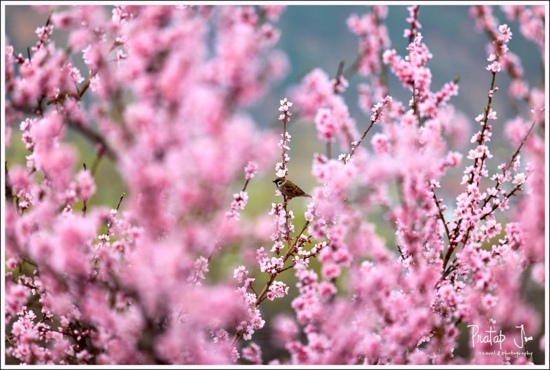 Cherry Blossom in Kichu Lhakhang