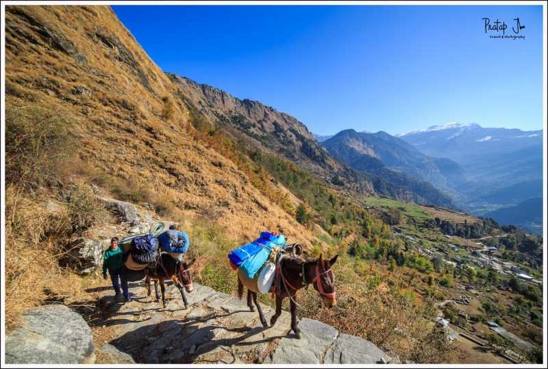 Mules and Trekkers Trekking up to Deoriatal