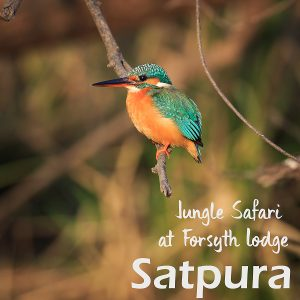 Jungle Safari in Satpura Tiger Reserve and Stay at Forsyth Lodge