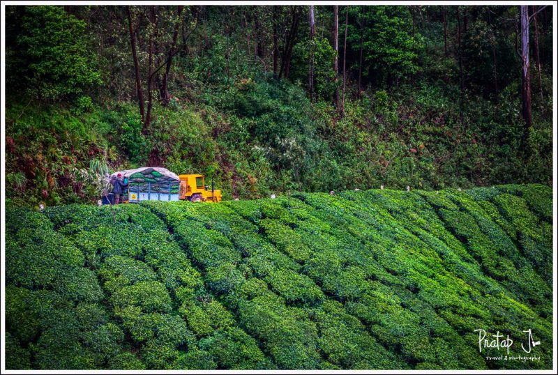 A yellow tractor in the tea gardens of Munnar